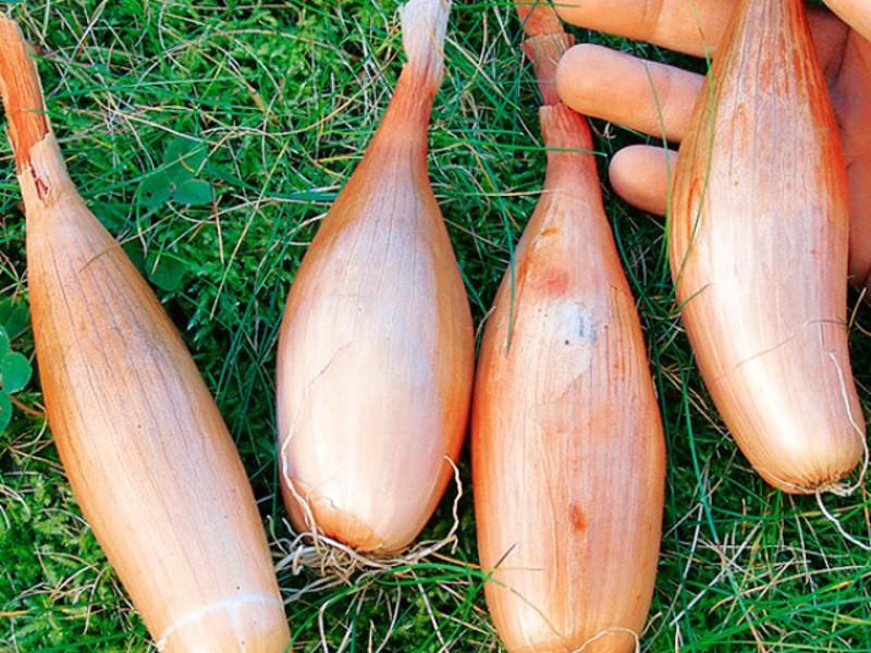 Лук-сорокозубка выращивание 80