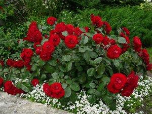 Комнатные цветы розы ухаживать