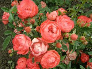 Красивый куст полиантовой розы.