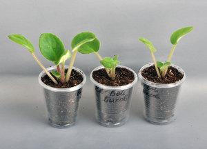 Как выращивать фиалки комнатные