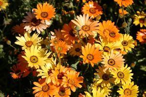 Как выращивать диморфотеку из семян сорта, методика выращивания рассады, уход