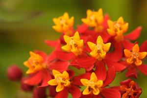 Как долго цветет ваточник