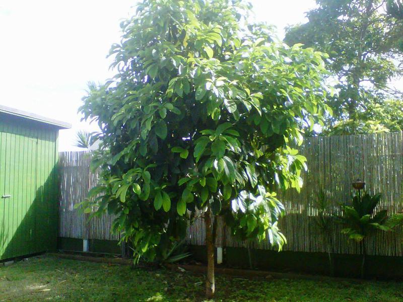 Как растёт авокадо особенности роста и уход за растением, выращивание из косточки в домашних
