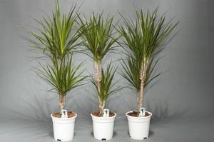 Выращивание драцен в домашних условиях 40