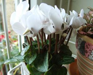 Как ухаживать за цветком цикламен