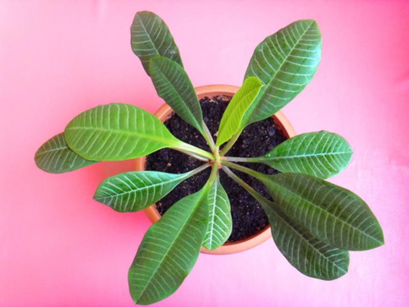 Растение молочай - фото, уход, размножение, описание Виды и лечебные свойства комнатного цветка молочая