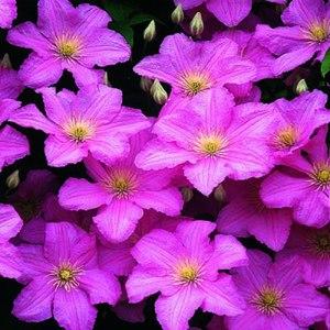 Как ухаживать за цветком клематис