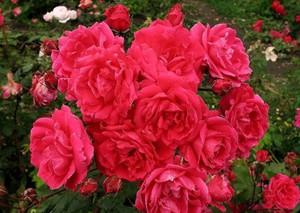Сорт красивых роз
