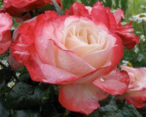 Как выходить нежную розу
