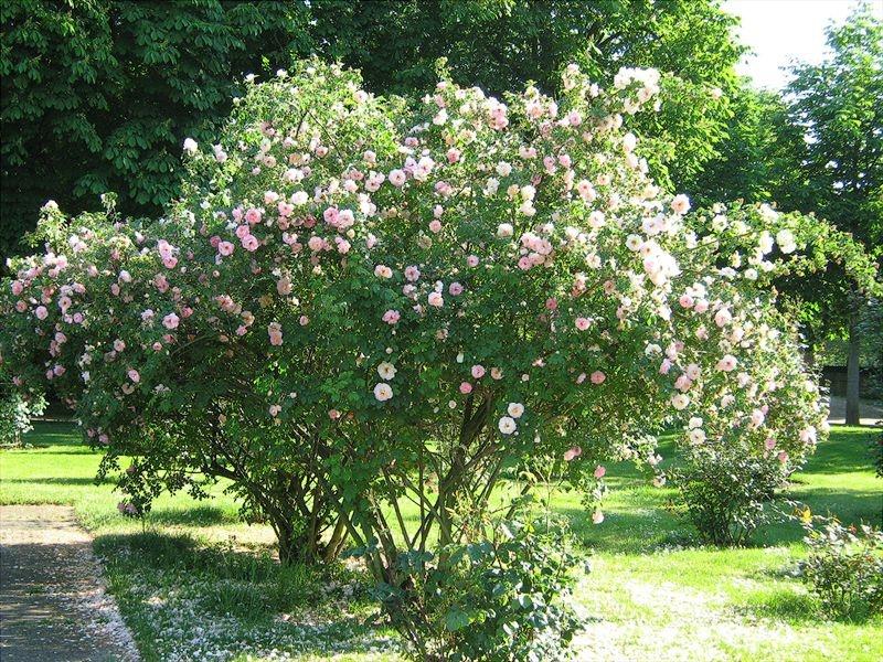 Парковая роза посадка и уход фото