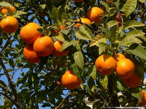 Как растет апельсиновое дерево и финик советы по выращиванию дома, полезные свойства фруктов и их