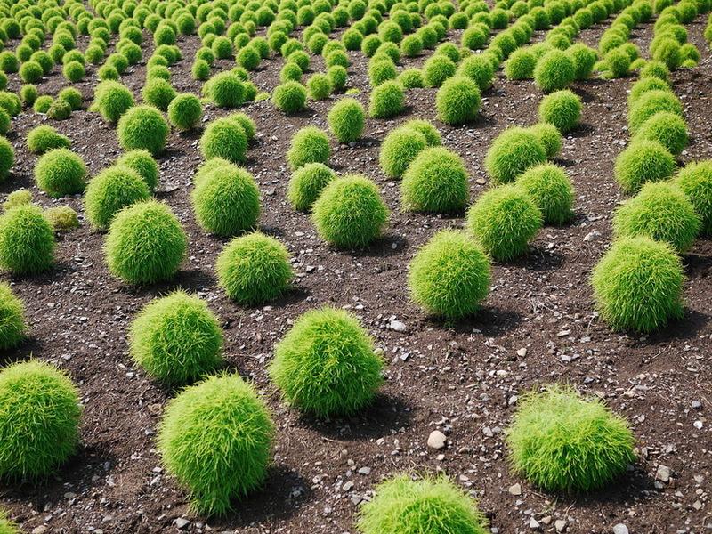 Кохия выращивание из семян когда