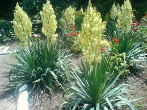Цветы юкка