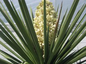 Экзотический цветок юкка