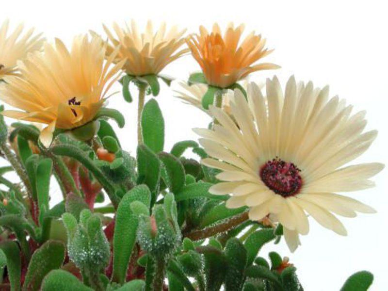Доротеантус цветы