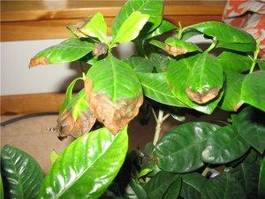 Почему сохнут кончики листьев у комнатных растений