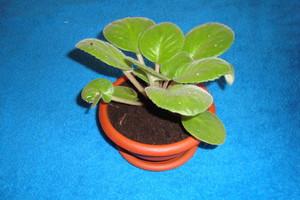 Почему фиалка не цветет в домашних условиях, а растут только листья, и что с этим делать