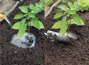 Сладкий перец выращивание рассады, тонкости ухода за культурой