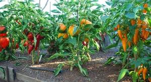перец сладкий выращивание и уход в теплице