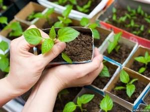 Выращивание перца через рассаду
