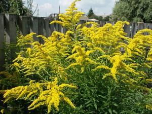 За что назвали это растение золотарник