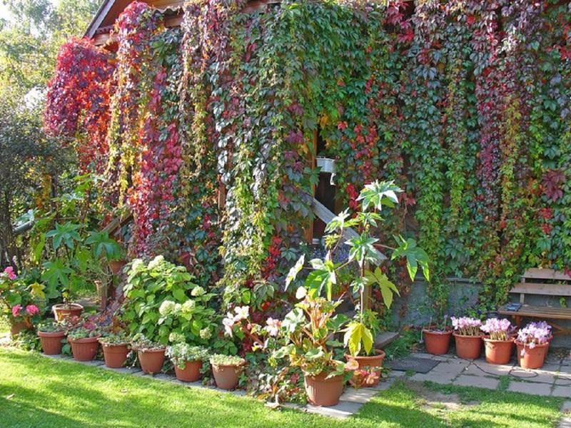 Как посадить девичий виноград