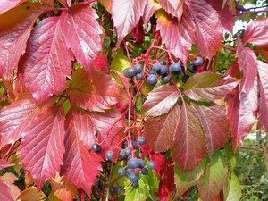 Описание особенностей девичьего винограда