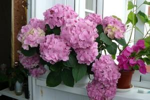 Цветок гортензия – уход в домашних условиях: размножение и пересадка гортензии дома — домашняя гортензия – обрезка, полив и удобрение