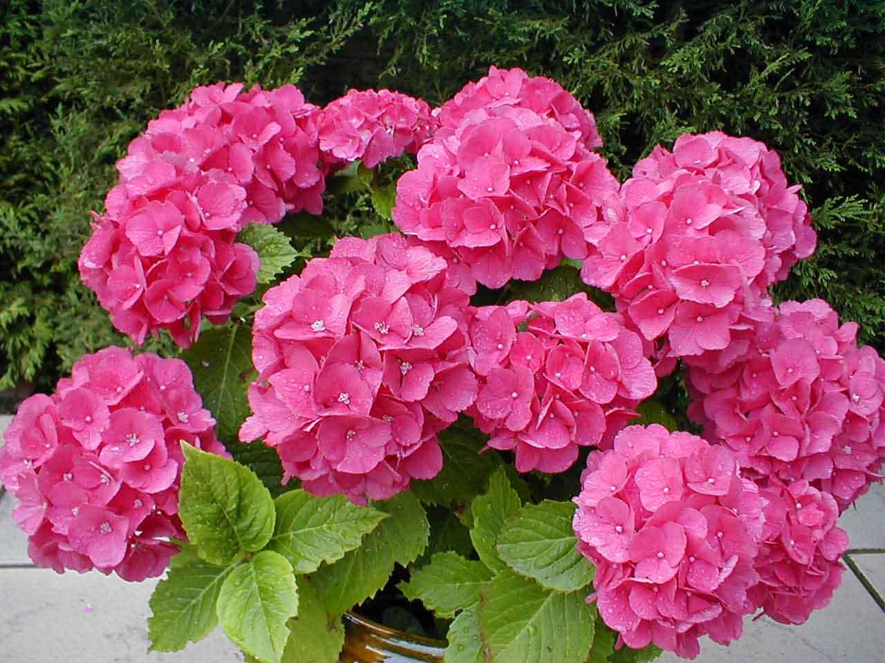 Комнатные цветы. гортензия
