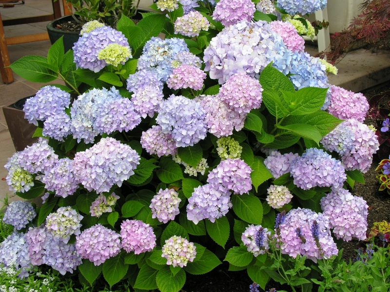 Цветы гортензии