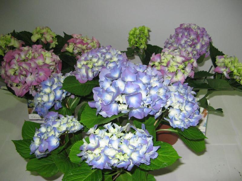 Цветки гортензии