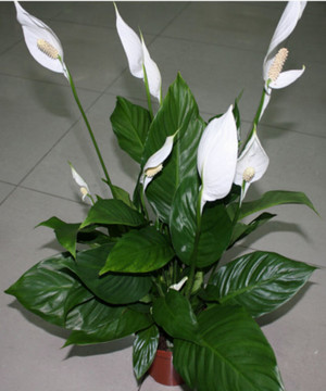 домашний цветок женское счастье фото