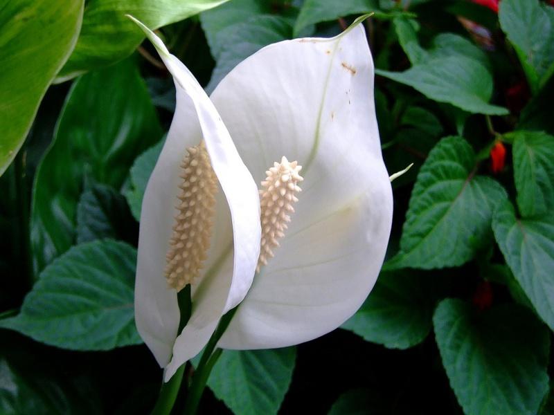 Период цветения цветка спатифиллум