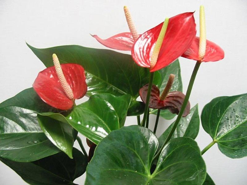 Как растет цветок спатифиллум