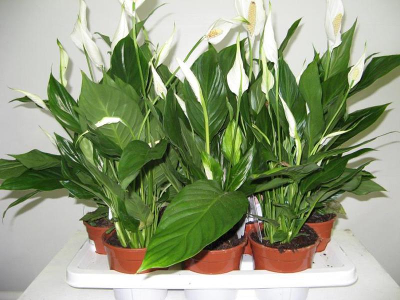 Правила ухода за цветком спатифиллум