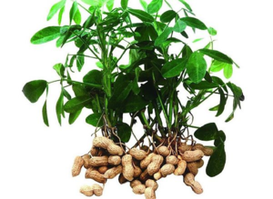 А вот как растет арахис