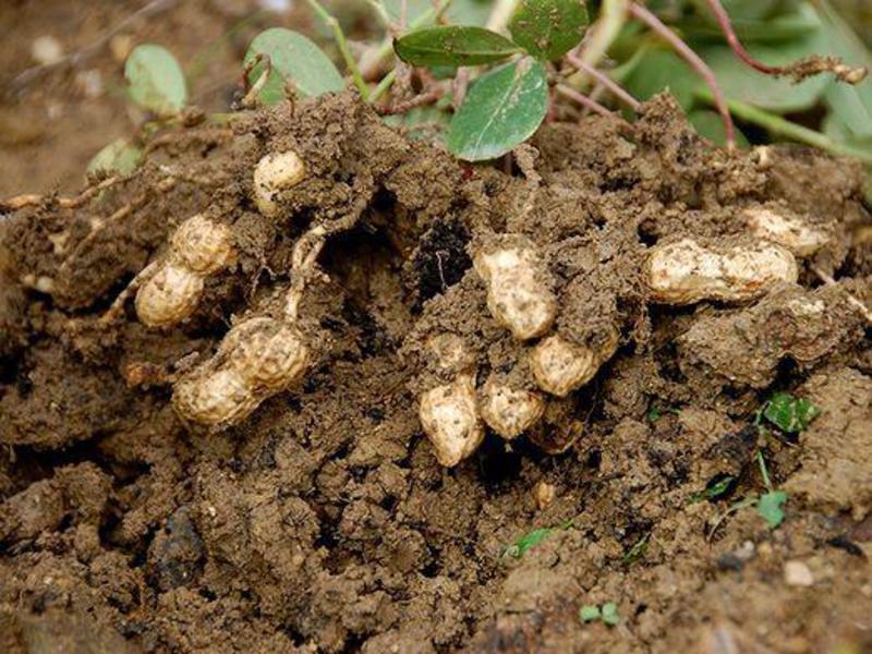 Где растет арахис