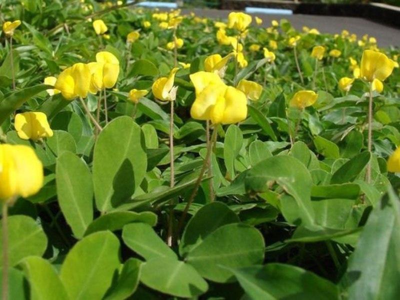 Период цветения арахиса