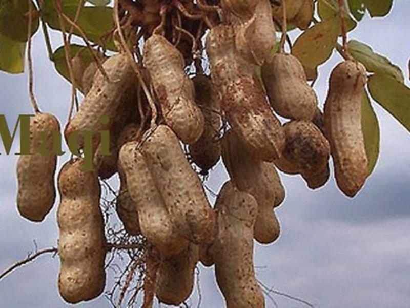 Как вновь называют арахис