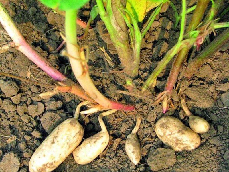 Растение арахис 90