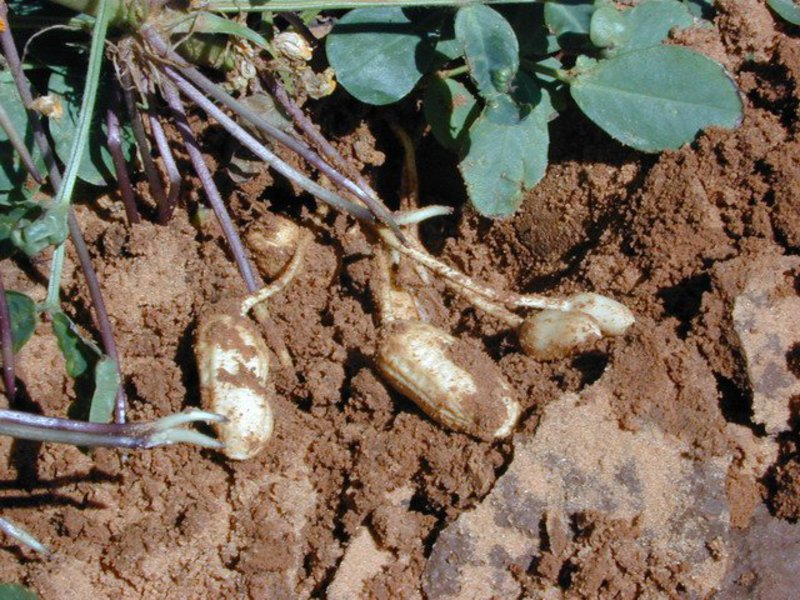 Растение арахис 43