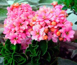 Как ухаживать за декоративным цветком каланхоэ уход в домашних условиях, пересадка цветущего