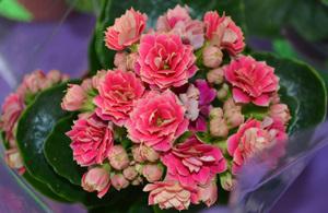 Цветок каланхоэ уход