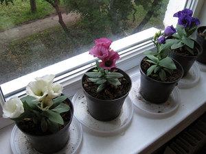 Еустома вирощування з насіння в домашніх умовах