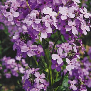 Цветы фото ночные фиалки