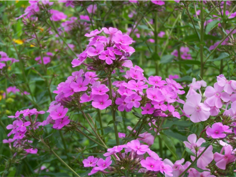 Цветок петуния: выращивание, уход, размножение. Сорта