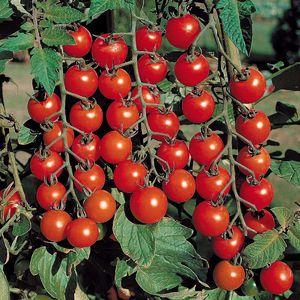 помидоры черри описание