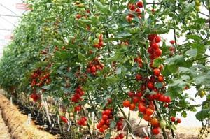 Как выбрать сорт томатов