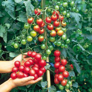 Внешний вид помидоров черри
