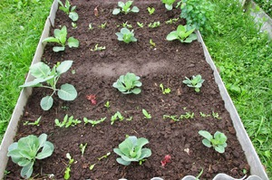 Поэтапный уход за капустой брокколи и выращивание различных сортов в Подмосковье